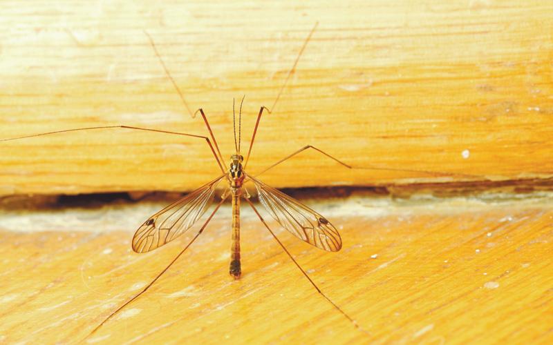 יתוש. צילום אילוסטרציה א.ס.א.פ קריאייטיב/INGIMAGE