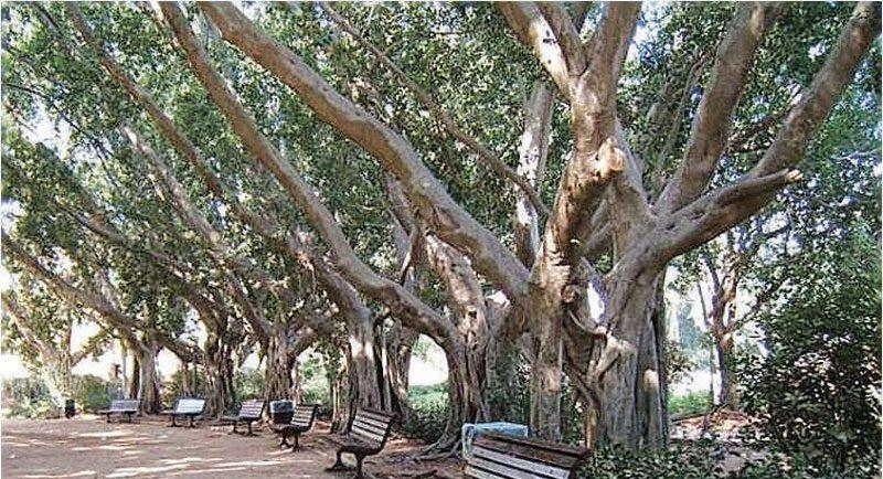 עצים בכפר סבא. צילום שרונה לימן
