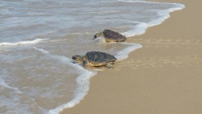 צבי הים בחוף בהרצליה. צילום: איילה יהלומי, רשות הטבע והגנים