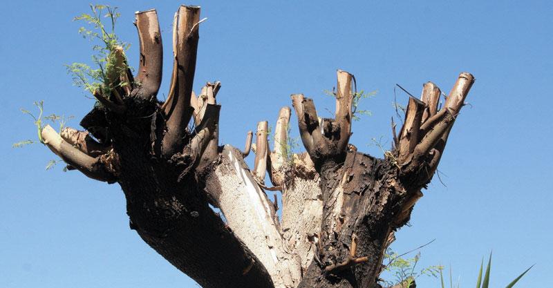 עץ כרות ברחוב חוחית בכפר סבא. צילום עזרא לוי