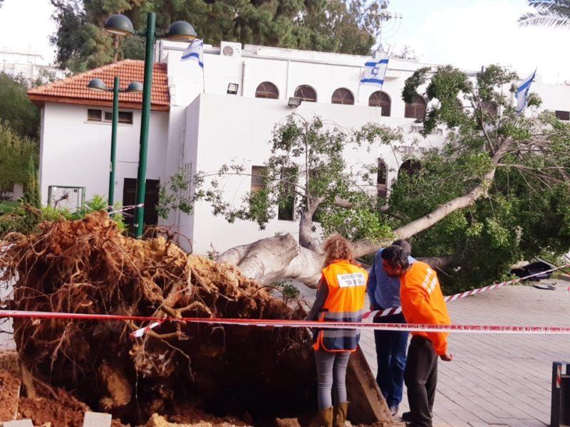 העץ שקרס ליד הבית הכנסת הגדול בכפר סבא