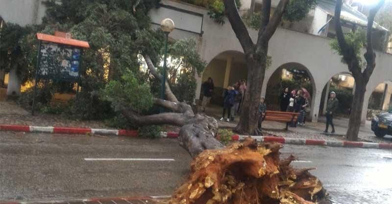 עץ שקרס ברחוב הרצל בכפר סבא. התמונה הופצה ברשתות החברתיות. נשמח לתת קרדיט לצלם