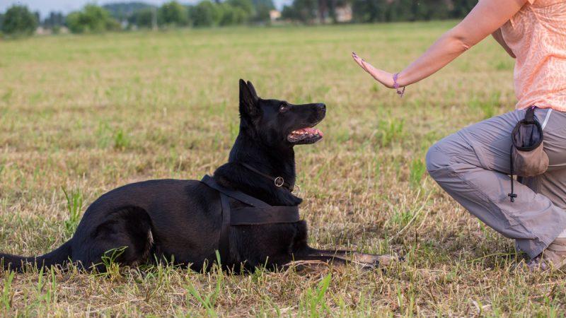 אילוף כלבים (צילום: By Luca Nichetti, shutterstock)