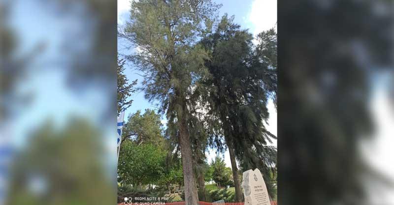 עץ הקזוארינה הבוגר. צילום פרטי